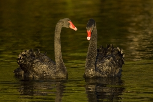 Swan Couple #1