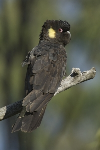 Yellow-tailed Black-cockatoo #1