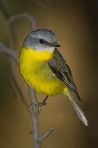 Eastern Yellow Robin #15