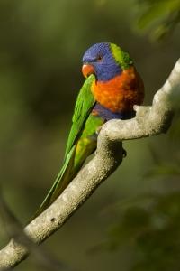 Rainbow Lorikeet #9