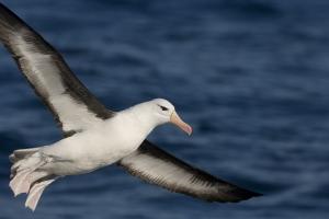 Black-browed Albatross #9