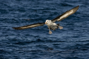 Black-browed Albatross #96