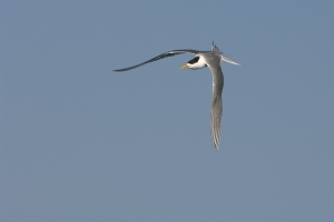 Great Crested Tern #8