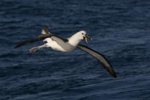 Yellow-nosed Albatross #49