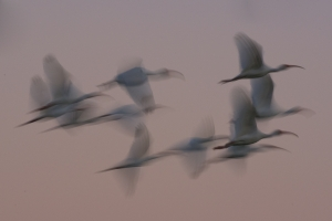 White Ibis flight blur. Eco Pond, Everglades National Park, Florida.