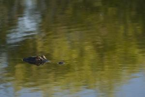 American Alligator portrait.  Anhinga Trail. Everglades National Park, Florida.