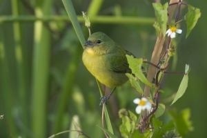 Female Painted Bunting on Devil's needles, Everglades National Park, Florida.