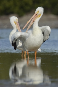 American White Pelicans.  Snake Bight, Everglades National Park, Florida.