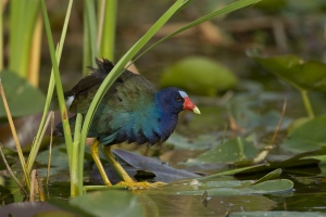 Purple Gallinule in spadderdock and sawgrass.  Shark Valley, Everglades National Park, Florida.