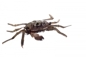 Mangrove Tree Crab (Aratus pisonii). Field Studio, Meet Your Neighbors Project.