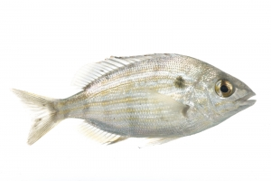 Pinfish (Lagodon rhomboides). Field Studio, Meet Your Neighbours Project.