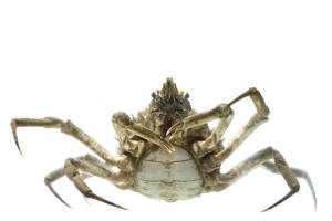 Longnose Spider Crab (Libinia dubia). Field Studio, Meet Your Neighbours Project.