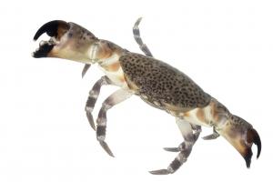 Florida Stone Crab (Menippe mercenaria). Field Studio, Meet Your Neighbours Project.