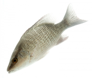 Grey (Mangrove) Snapper (Lutjanus griseus). Field Studio, Meet Your Neighbours Project.