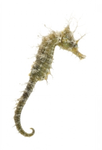 Lined Seahorse (Hippocampus erectus). Field Studio, Meet Your Neighbours Project.