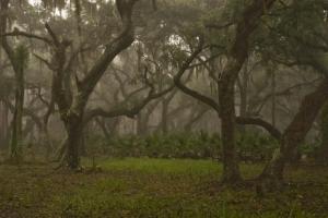 Mist and fog enshroud live oaks in a hardwood hammock