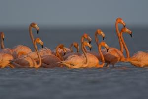 Greater Flamingos feeding. Snake Bight, Everglades National Park, Florida.