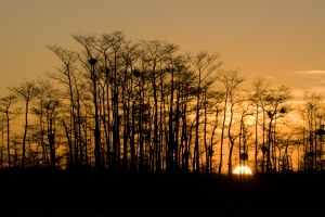 Sunrise through cypress. Loop Road, Big Cypress National Preserve, Florida.