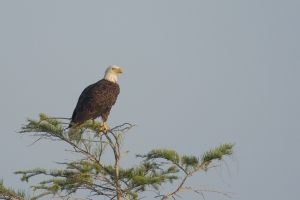 Bald Eagle perched in cypress. Everglades National Park, Florida.