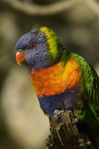 Rainbow Lorikeet Portrait #1
