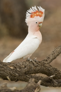 Pink Cockatoo #4