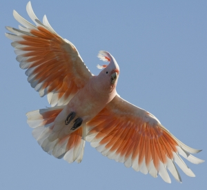 Pink Cockatoo #28