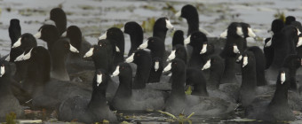 Dense flock of American Coots (Fulica americana)