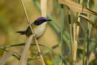 purple-crowned-fairywren-00003